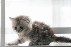 Jeu mignon de chaton Images stock