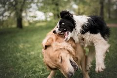 Jeu noir et blanc adorable mignon de border collie et de golden retriever images libres de droits
