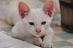 Jeu thaïlandais de chats photos stock