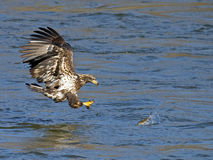 Jeugd Amerikaans Kaal Eagle Fish Grab Stock Foto