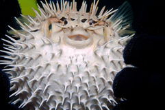 Jeugd balloonfish Royalty-vrije Stock Foto's