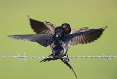 Jeugd boerenzwaluw Hirundo-rustica op gevoed te worden die prikkeldraadwachten wordt neergestreken Royalty-vrije Stock Foto