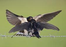 Jeugd boerenzwaluw Hirundo-rustica op gevoed te worden die prikkeldraadwachten wordt neergestreken Royalty-vrije Stock Fotografie