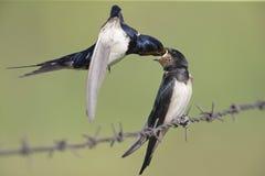 Jeugd boerenzwaluw Hirundo-rustica op prikkeldraad en die wordt gevoed wordt neergestreken Royalty-vrije Stock Foto's