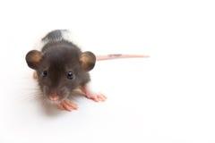 Jeugd Buitensporige Rat Dumbo Royalty-vrije Stock Foto's