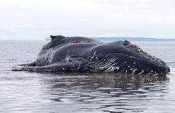 Jeugd de walviswassen van de Gebochelde aan wal en gestorven royalty-vrije stock afbeelding