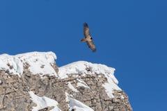 Jeugd gebaarde barbatus die van giergypaetus, blauwe hemel, r vliegen stock foto