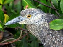 Jeugd Gele Bekroonde Nachtreiger in de Mangroven Royalty-vrije Stock Afbeelding
