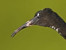 Jeugd Glanzende Ibis royalty-vrije stock foto's