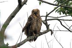 Jeugd Groot Gehoornd Owl Posing voor de Camera stock fotografie