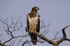 Jeugd Kaal Eagle in een Boom royalty-vrije stock afbeelding