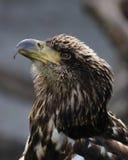 Jeugd Kaal Eagle-profiel royalty-vrije stock foto's