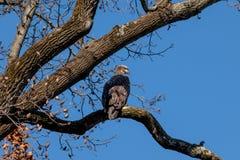 Jeugd Kaal Eagle streek op een tak neer stock afbeeldingen