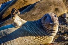 Jeugd Noordelijke Olifantsverbinding royalty-vrije stock fotografie
