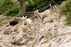 Jeugdbighorn sheeps & x28; Ovis canadensis& x29; Stock Fotografie