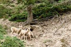 Jeugdbighorn sheeps & x28; Ovis canadensis& x29; Stock Afbeeldingen
