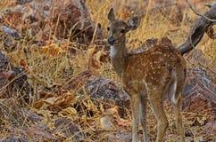 Jeugdchital-Herten Stock Foto's
