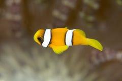 Jeugdclownfish Royalty-vrije Stock Foto's