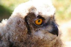 Jeugdeagle owl in profiel Stock Afbeeldingen