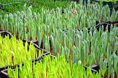 Jeugdige groene knop van tulp Stock Foto's