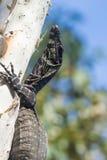 Jeugdkantmonitor (Varanus-varius) of goanna van Australië Stock Foto's