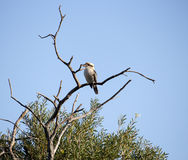 Jeugdkookaburra of Australische Kookaburra in een boom stock fotografie