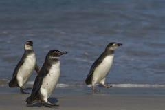 Jeugdmagellanic-pinguïnen op een zandig strand - Falkland Islands Stock Afbeeldingen