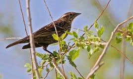 Jeugdmannetje bruin-Geleide Cowbird Stock Afbeelding
