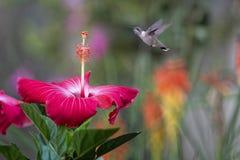 Jeugdmannetje en Hibiscus royalty-vrije stock foto's