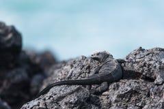 Jeugdmarine iguana Stock Foto