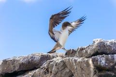 Jeugdnazca-Domoor in de Galapagos Royalty-vrije Stock Foto