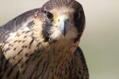 Jeugdperegrine falcon in opleiding royalty-vrije stock foto