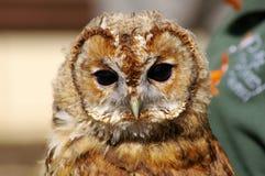 Jeugdtawny owl Stock Afbeelding