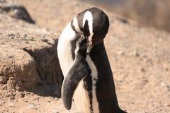 Jeukerige pinguïn Royalty-vrije Stock Foto's