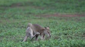Jeukerige Wallaby in langzame motie in Opdrachtstrand, Australië stock footage