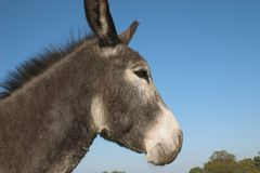 Jeune âne Photo stock