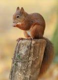 Jeune écureuil rouge photo libre de droits