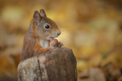 Jeune écureuil rouge avec l'écrou photographie stock