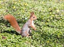 Jeune écureuil rouge se reposant sur l'herbe verte avec les fleurs jaunes photos stock
