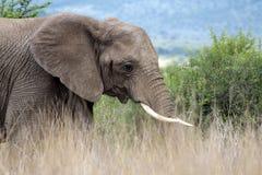Jeune éléphant Photographie stock libre de droits