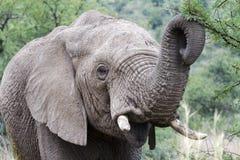 Jeune éléphant Image stock