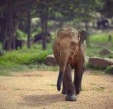 Jeune éléphant Photos libres de droits