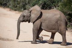 Jeune éléphant africain Photos stock