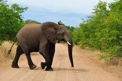 Jeune éléphant africain (africana de Loxodonta) Photo libre de droits