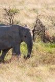 Jeune éléphant africain en parc national d'Etosha, Namibie photo libre de droits