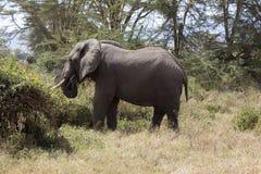Jeune éléphant africain frôlant dans Tanznia Afrique Photo stock