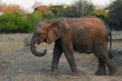 Jeune éléphant au coucher du soleil Photographie stock libre de droits
