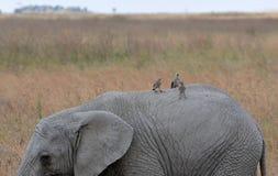 Jeune éléphant avec des oiseaux - Serengeti (Tanzanie) Photos stock