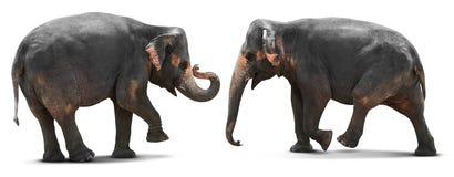 Jeune éléphant d'isolement Photos stock