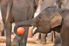 Jeune éléphant de l'Asie photo stock